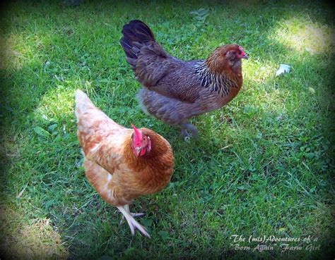 backyard chickens do it legally and responsibly the