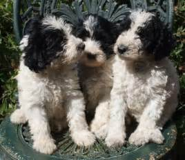 Parti schnoodle puppies black and white