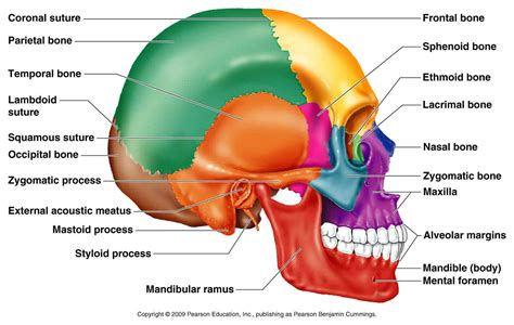 skull diagram labeled human skull diagrams diagram site