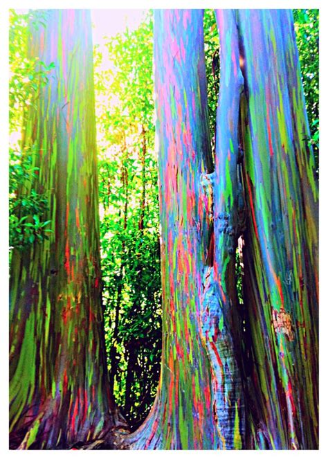 rainbow trees rainbow eucalyptus on the road to hana maui