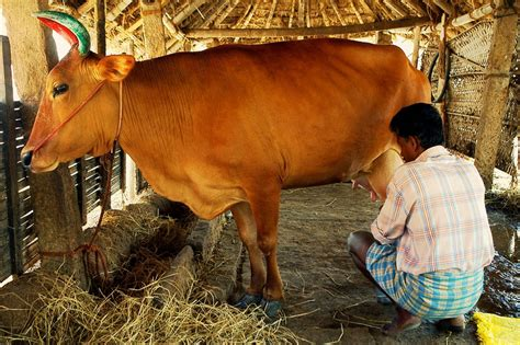 cow poop house india travellerspoint travel photography milking the holy cow a photo from tamil nadu south
