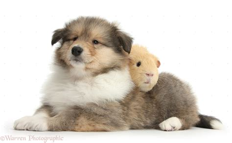 how to a pig pup pets collie puppy and yellow guinea pig photo wp38301