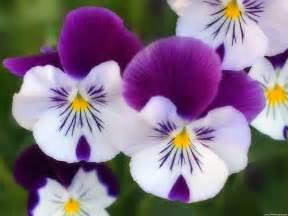 pansy flower wallpaper hd wallpapers widescreen desktop