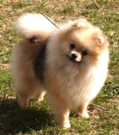 different types of pomeranian types of pomeranians pomeranian information care pictures