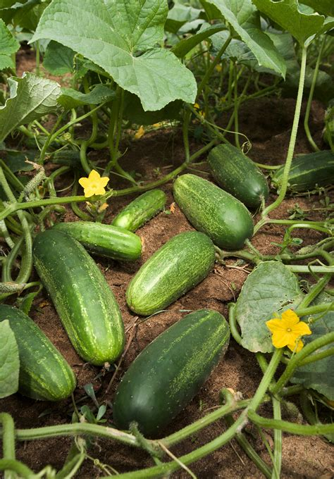 Cucumber Garden by File Ars Cucumber Jpg