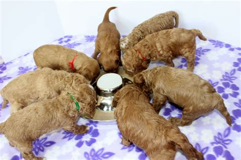 weaning golden retriever puppies puppies names puppies puppy