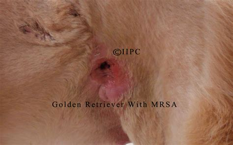 mrsa in dogs mrsa in dogs images frompo 1