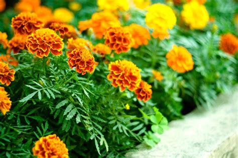 fiori da bordura pieno sole fiori per un aiuola in pieno sole pollicegreen