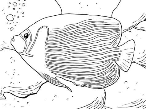 emperor angelfish coloring page supercoloringcom