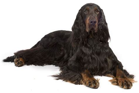 gordon setter dog temperament gordon setter dog breed information
