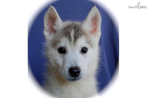 husky puppies for sale in indiana meet indiana a siberian husky puppy for sale for 400 indiana handsome husky fella