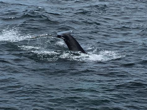 when is whale season in cape cod whales hyannis cape cod pacelli