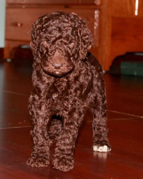 poodle puppy for sale trained chocolate standard poodle puppy for sale s best friend