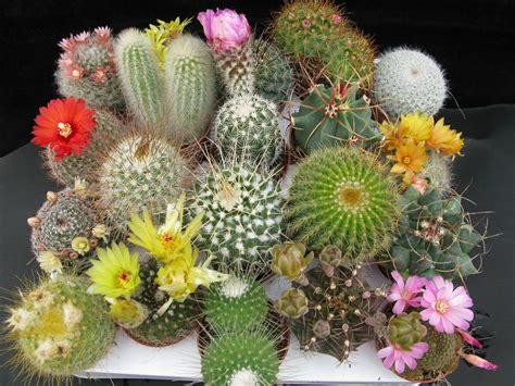 cactus fiori piante e fiori piante grasse