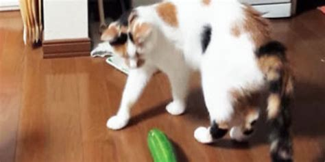 cat freaking out maybe in heat cats freaking out cucumbers is the mashup you need to see now