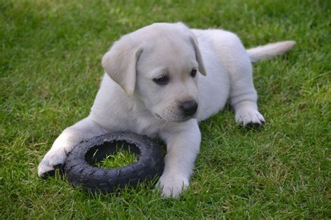 cleveland puppy for sale labrador puppies and dogs for sale pets classifieds newhairstylesformen2014