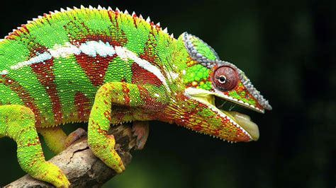 color changing lizard chameleons color changing mystry resolve credit goes to