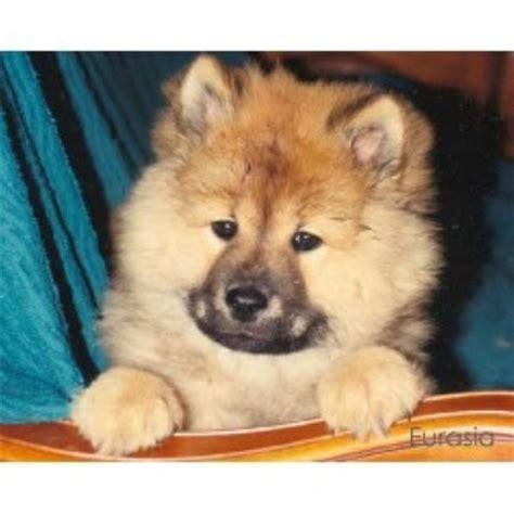 eurasier puppies for sale eurasia rg d eurasier breeder in lanaudi 232 re listing id 10072