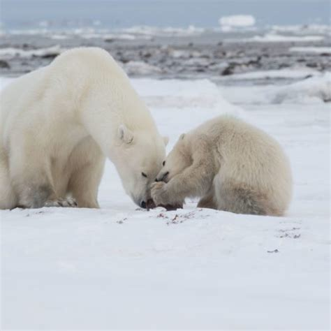 the polar bear explorers 0571332544 the ultimate private polar bear viewing experience