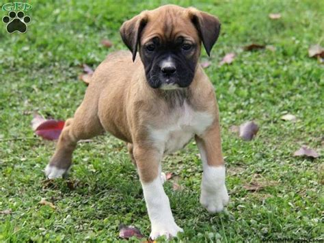 pug and boxer boxer pug mix puppies zoe fans baby animals boxers