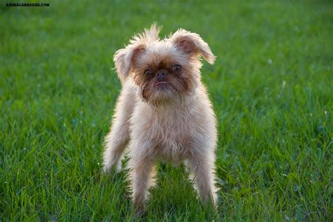 brussels griffon puppy brussels griffon breed pictures information temperament characteristics