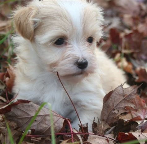 happy trails havanese 17 best ideas about havanese puppies for sale on havanese puppies teddy