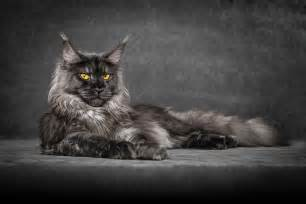 coon tattoo 15 photos illustrant 224 la perfection la beaut 233 mystique du maine coon web wamiz