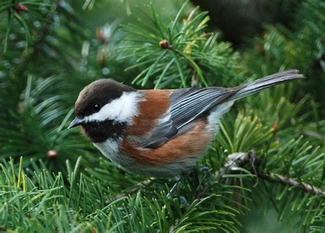 file chestnut backed chickadee jpg wikimedia commons