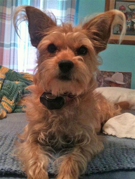 westie yorkie mix puppies for sale dachshund terrier mix images breeds picture
