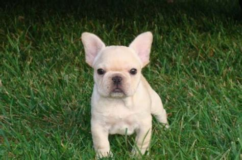 bulldog pomeranian mix for sale bulldog pomeranian mix bulldog 6 years breeds picture