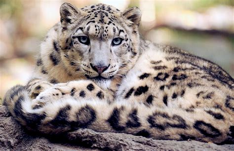 domain leopard image the graphics snow leopard free stock photo domain pictures
