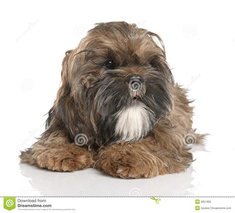 6 month shih tzu shih tzu puppy 6 months royalty free stock photo image 9051955