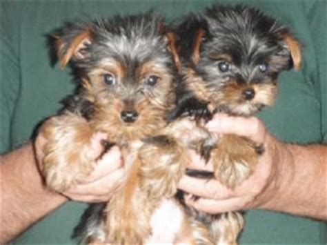 yorkie puppies for sale in greenville sc yorkie puppies available now for sale adoption from greenville south carolina adpost