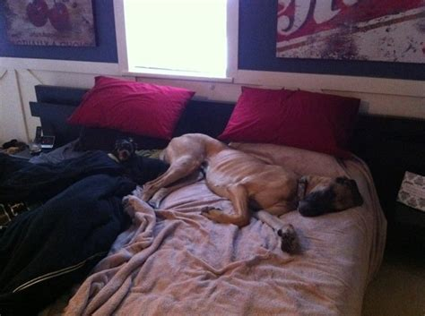 great dane beds great dane bed 28 images 25 best ideas about great