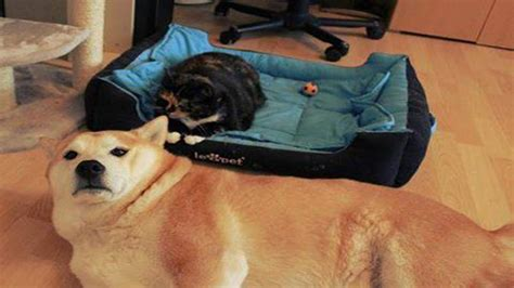 cats in dog beds cats stealing dog beds funny cat love to sleep on dog bed