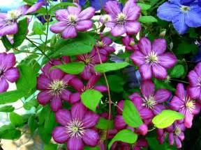Best Climbing Plants For Shade - best flowering vines for the northern us gardener s path