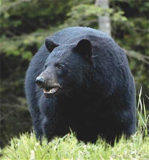big black bear funny wallpapers hd wallpapers 08 20 11