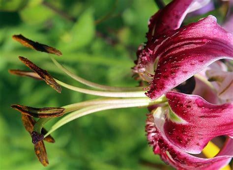 fiore il giglio gigli fiori e variet 224 idee green