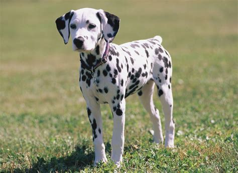 puppy dalmatian dalmatian pet collection world