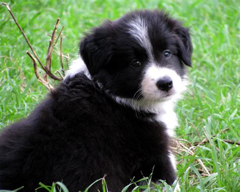 border collie puppies border collie dawgies