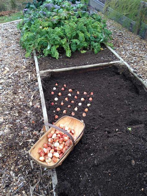 planting tulip bulbs in your vegetable garden longfield gardens