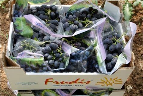 uva da tavola inizia la raccolta in puglia agronotizie