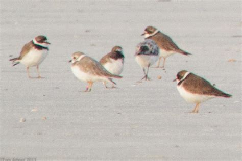 the ohio nature blog piping plover litchfield beach