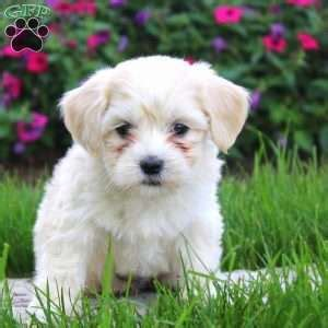 havanese puppies for sale in md havanese puppies for sale in pa md ny nj