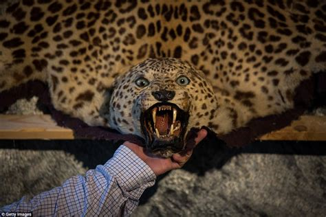 leopard skin rug for sale collection of taxidermy and prehistoric curios to be auctioned in sussex daily mail