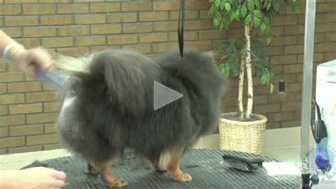 grooming a pomeranian part 2 of 3 grooming the pet pomeranian like a show learn2groomdogs