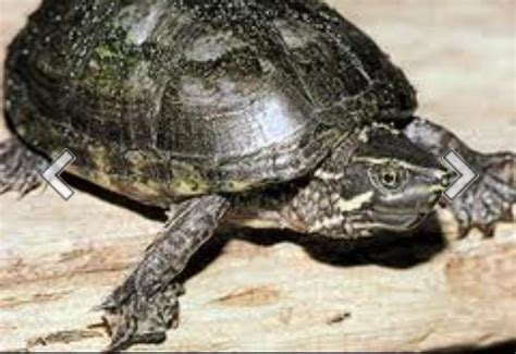 Pyramid Turtle Common ontario turtles zoology 4940 with at of guelph studyblue