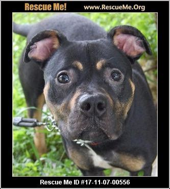rottweiler rescue indiana indiana rottweiler rescue adoptions rescueme org