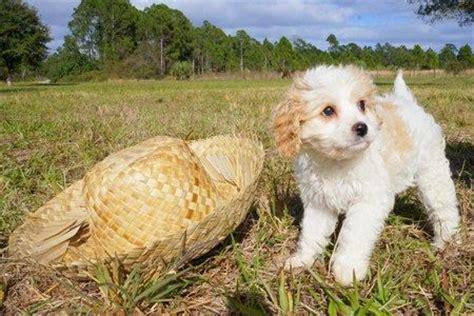 cavapoo puppies florida 25 best ideas about cavapoo breeders on cavapoo dogs cavalier king
