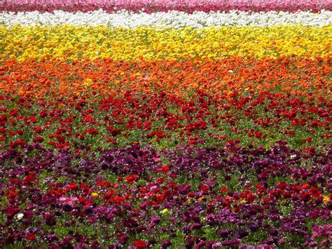 flower garden carlsbad carlsbad flower gardens jjdmsinger